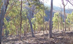 Forestación Eucalyptus
